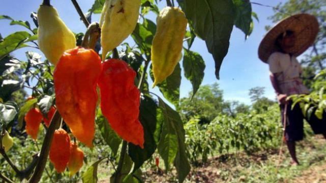 Ghost pepper burns hole in man's esophagus