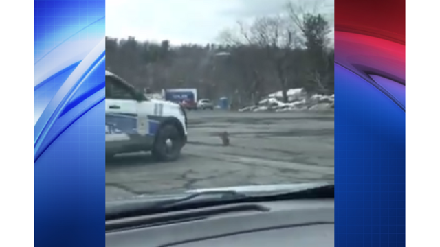 Witnesses: Police try to run over raccoon